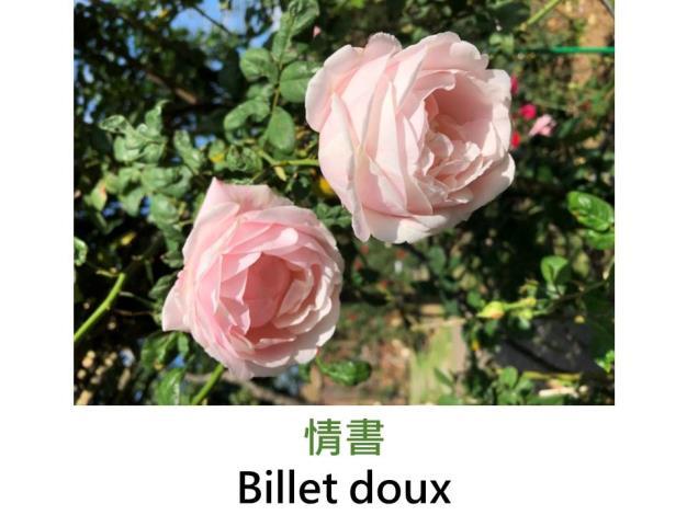 灌木玫瑰,育出:2010前,法國,淡粉紅色具白色條紋,杯狀花