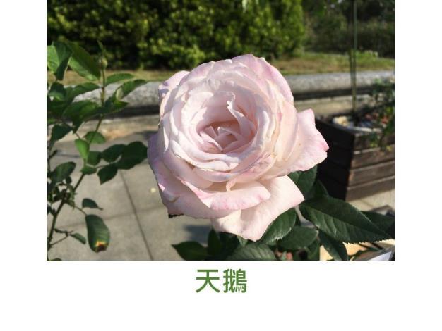 育出:2019台灣.粉色.淡香