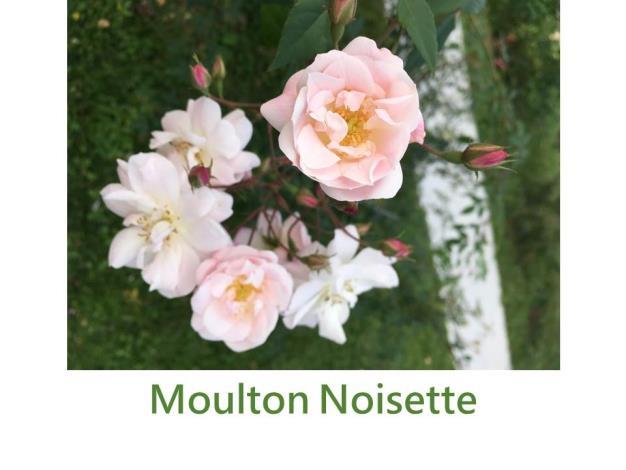 攀緣玫瑰,育出:2007美國,淺粉至白色,強香