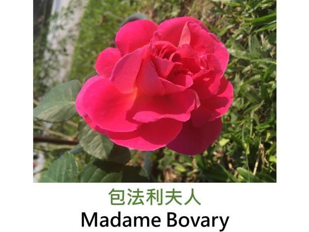 灌木玫瑰,育出:2002前,法國,粉紅色,果香