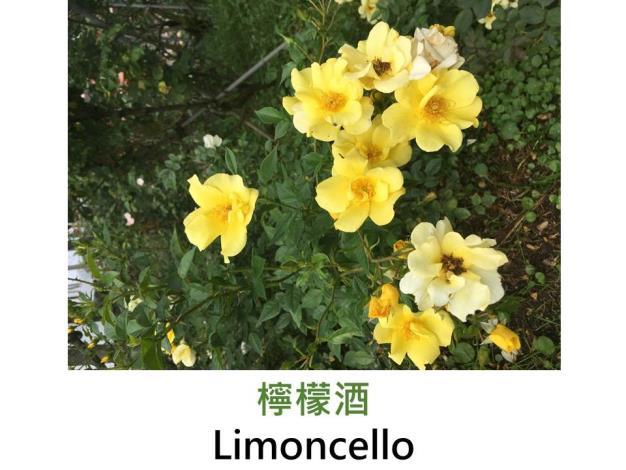 灌木玫瑰,育出:2008前,法國,檸檬黃色,雄蕊金色,單瓣,濃香
