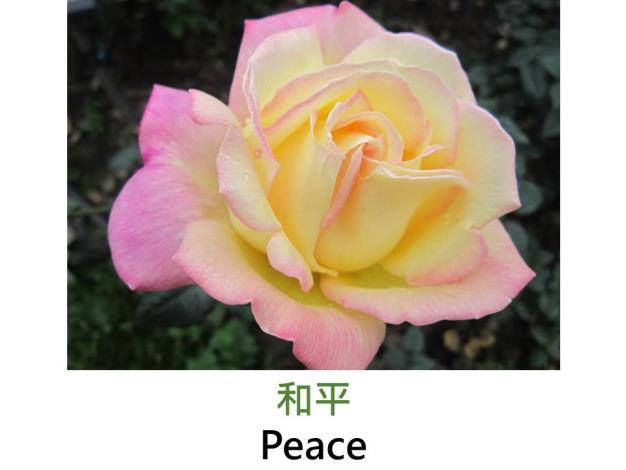 大花矮叢玫瑰,育出:1942法國,黃綴粉紅色,重瓣中高至圓形,甜香