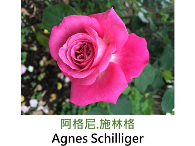 灌木玫瑰,育出:1998法國,紫粉色,四分簇生花形,果香