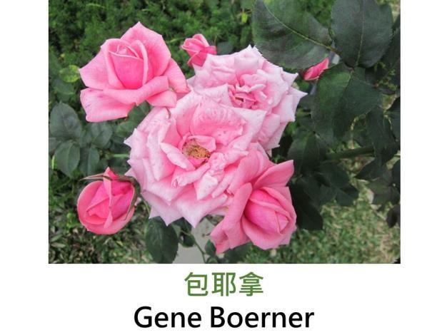 現代豐花矮叢玫瑰,育出:1968美國,桃粉色,劍瓣花型,微香