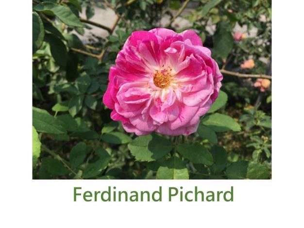 育出:1921法國.粉紅色.紫紅絞紋.杯型.淡香