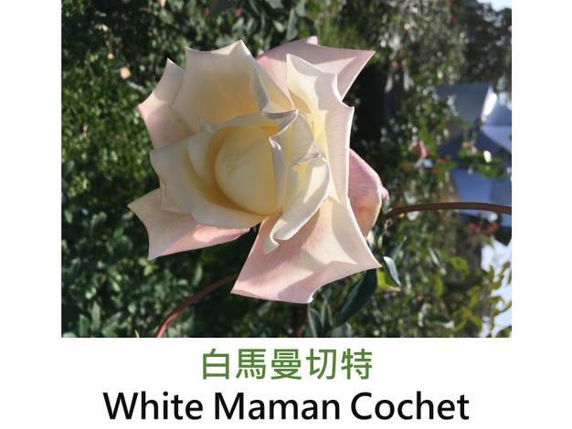 育出:1896前,澳洲,奶油色鑲玫瑰粉色,重瓣球狀高心形,茶香