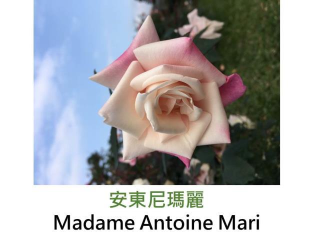 豐花灌木玫瑰,育出:1890法國,淺粉色奶油心,果香