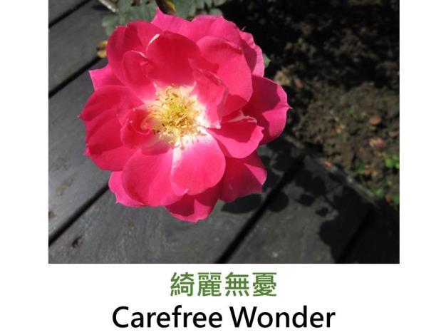 現代灌木玫瑰,育出:1990法國,桃紅瓣背粉白,圓瓣杯形,微香