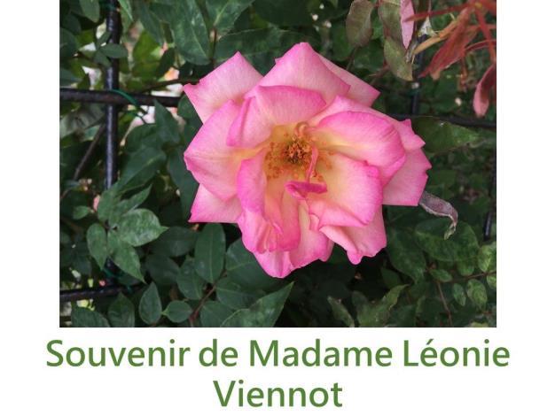 攀緣玫瑰.育出:1898法國.粉紅色黃底.中香