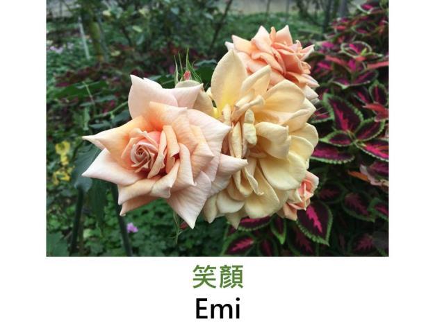 豐花.育出:2005日本.淺杏至粉紅色.淡香