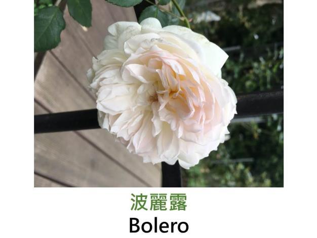 中輪豐花玫瑰,育出:2009法國,白色,簇生型扁花,強香