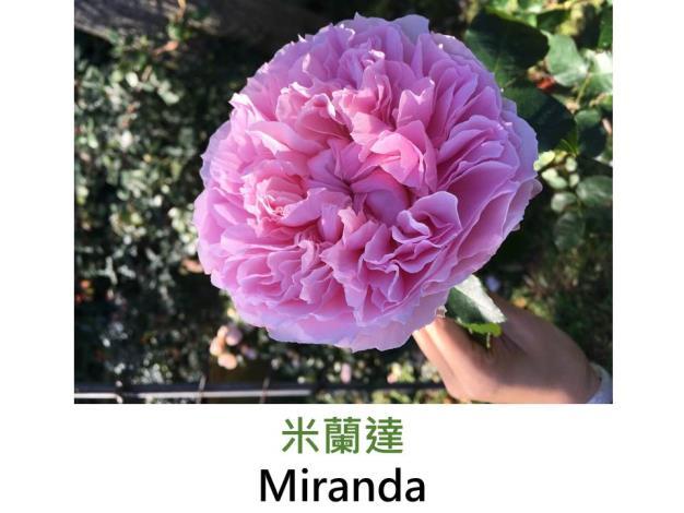灌木玫瑰,育出:1997英國,淺粉色,杯形,微香