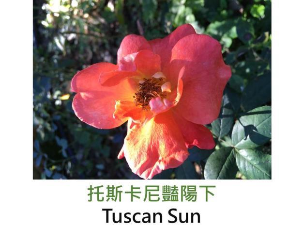 現代豐花矮叢玫瑰,育出:2002美國,橘黃色,微香