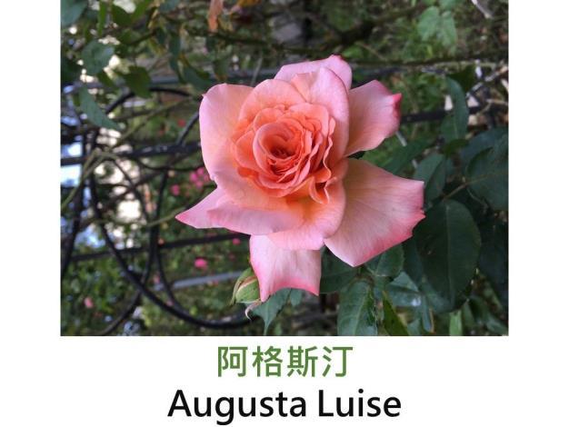 育出:1999德國.桃粉至橘粉色.花瓣波浪狀.古典花形.果香