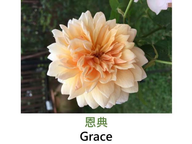 現代英國灌木玫瑰,育出:2001英國,深杏色,重瓣古典花形,茶香