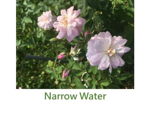 灌木玫瑰,育出:1901愛爾蘭,小花淺粉色,球形,中香
