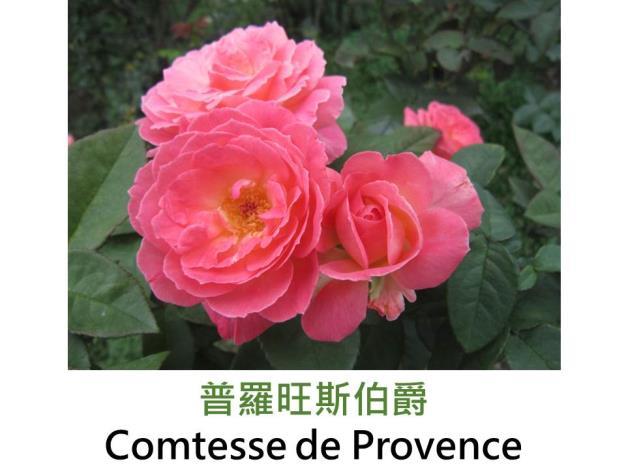 大輪,育出:2001法國,粉橘色,圓瓣杯形,強香