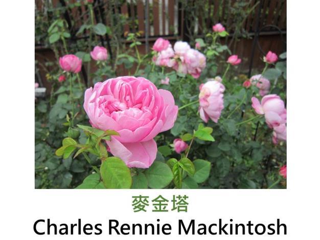 現代英國灌木玫瑰,育出:1988英國,桃紅至淺粉,圓瓣杯狀花,淡香