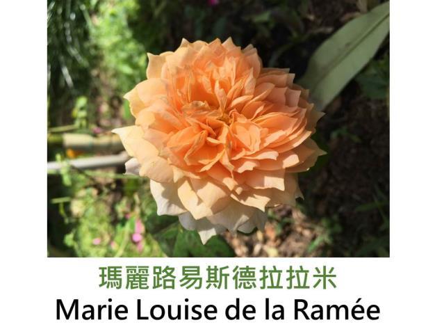 中輪灌木玫瑰,育出:2013荷蘭,橙色,外瓣較淺,鈕扣眼,中香