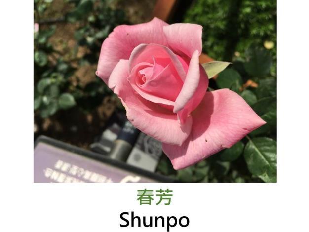 現代大花雜交茶香玫瑰,育出:1997日本,淡粉紅,劍瓣高心形