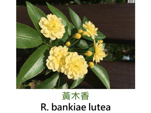 野生蔓性玫瑰,黃色小花,無香