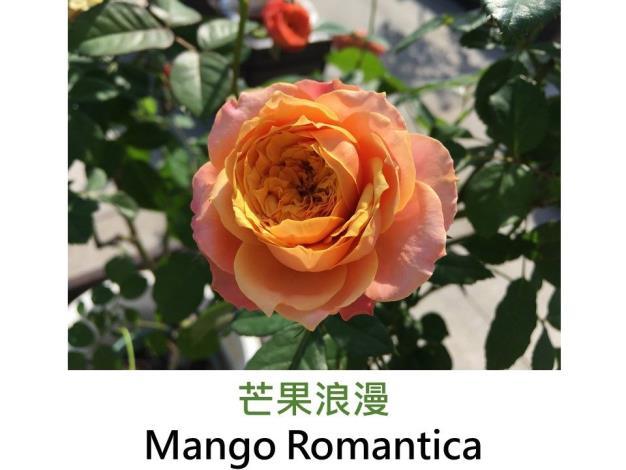 迷你玫瑰,育出:2010法國,橙黃色,外瓣粉,球狀