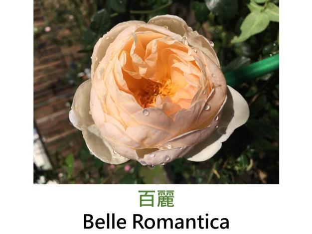 灌木玫瑰,育出:2013法國,杏色,果香