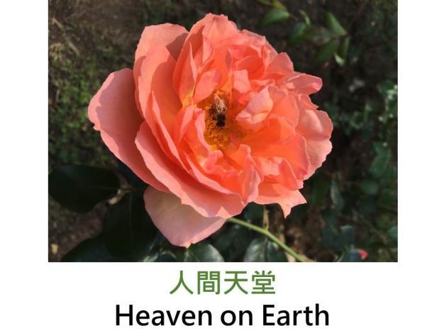 現代豐花灌木玫瑰,育出 : 2003德國,粉橙色蕊心黃,圓瓣平開,微香