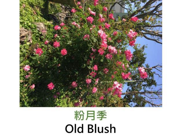 古典中國灌木玫瑰 ,育出:1793前,中國,亮桃紅色,重瓣平開形,微香