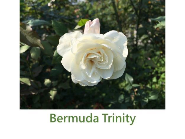 Bermuda Trinity.JPG