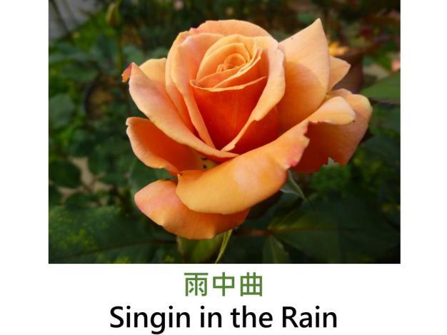 中輪豐花玫瑰,育出:1994紐西蘭,杏橘色,半劍瓣高心形,甜香