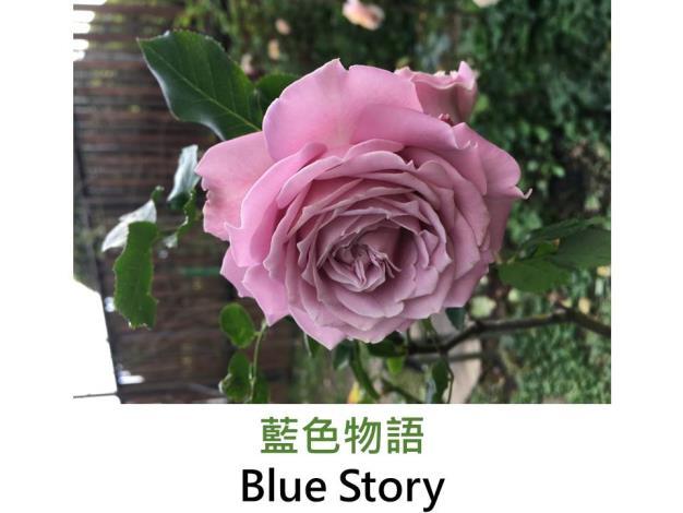 育出:日本,藍紫色,波浪邊帶綠色