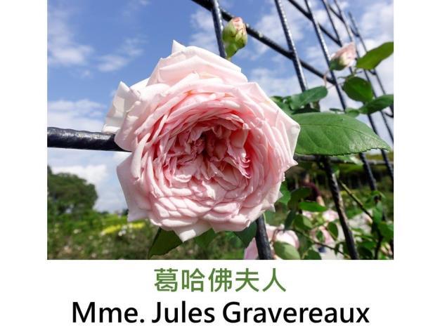 大花攀緣玫瑰.育出:1900盧森堡.杏桃色.濃香