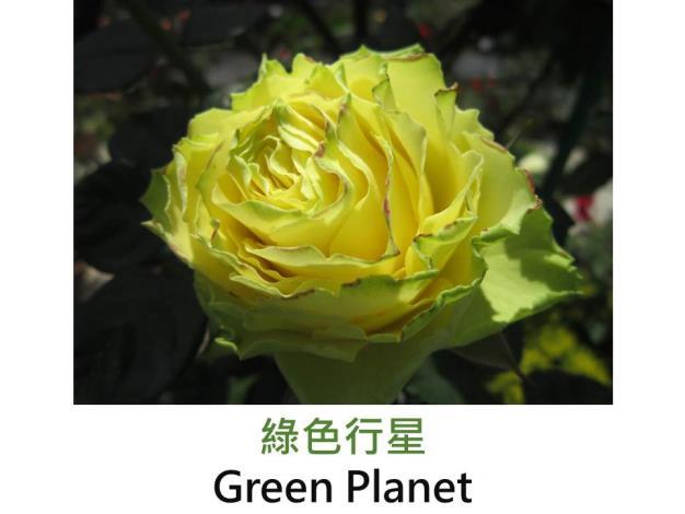 現代大花雜交茶香玫瑰,育出:2002荷蘭,黃綠色,半劍瓣高心形,微香