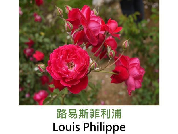 古典玫瑰,育出:1834法國,紅色,圓瓣杯狀,強香