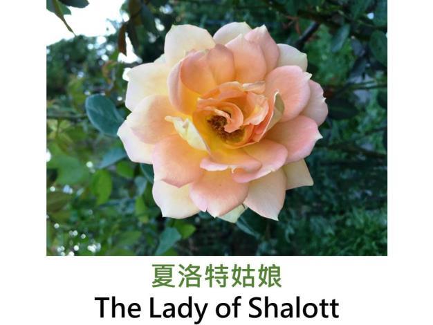 現代英國灌木玫瑰,育出:2004英國,橘、杏黃及鮭紅混色,重瓣球狀花形,淡香