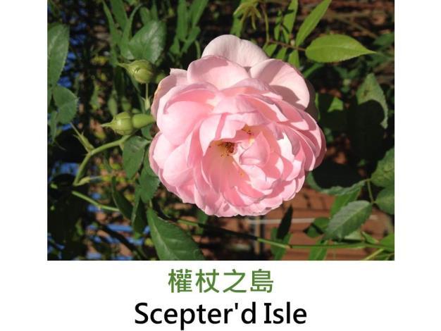 現代英國灌木玫瑰,育出:1984英國,淺粉紅,圓瓣杯狀花形,沒藥香