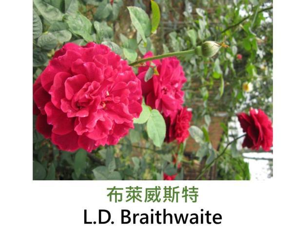 矮叢玫瑰,育出:1988英國,鮮紅色,重瓣古典杯型,強香