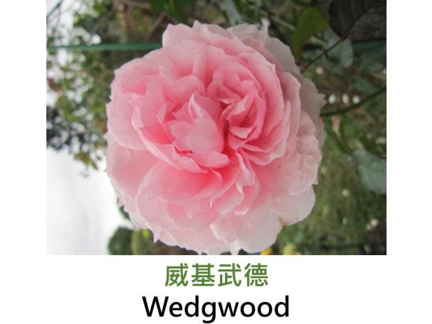 灌木玫瑰,育出:2009英國,粉紅色,圓瓣杯形,強香