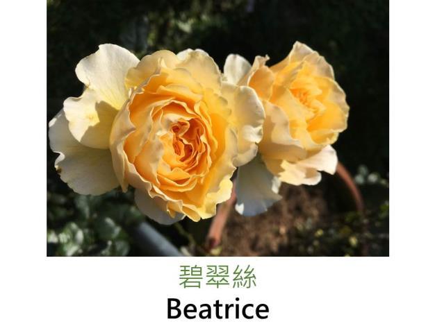 育出:2014英國,金黃至杏黃色,杯狀簇生花形,強香