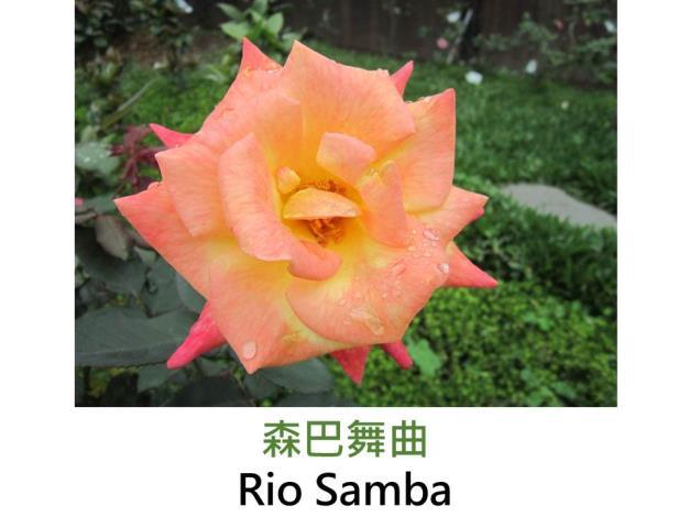 現代大花雜交茶香玫瑰,育出:1991美國,黃橘紅三種顏色變化,半劍瓣高心形,淡香