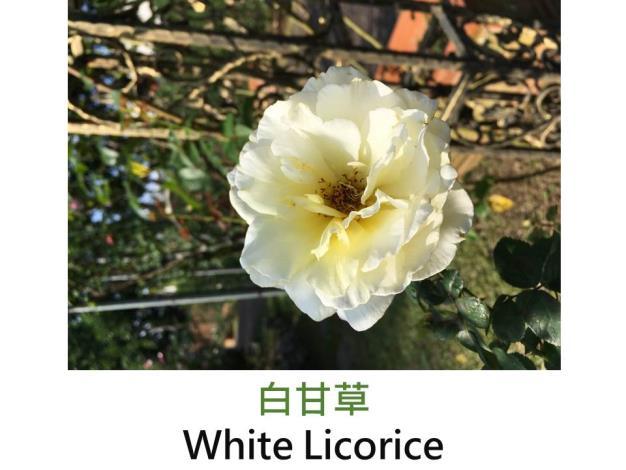 豐花玫瑰,育出:2011美國,乳黃乳白色,圓瓣波浪平開,強香