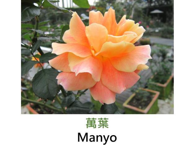 現代豐花矮叢玫瑰,育出:1988日本,橘杏混色,大花菊瓣簇生,球狀平開