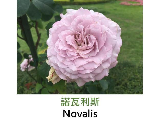 豐花玫瑰.育出:2004德國.紫色.杯狀花型.果香