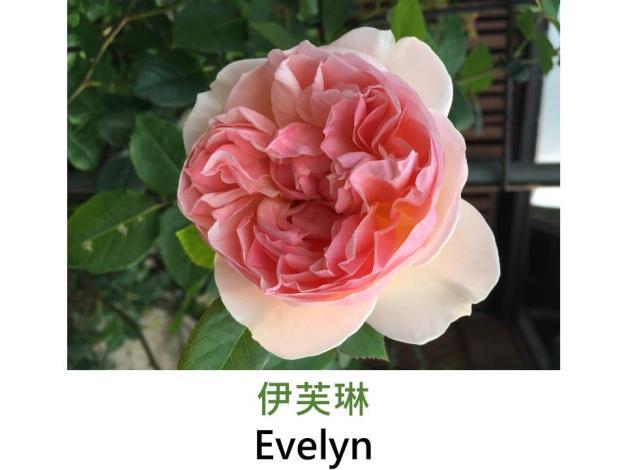 現代英國灌木玫瑰,育出:1992英國,瓣粉紅帶杏黃色,圓瓣簇生形,強香
