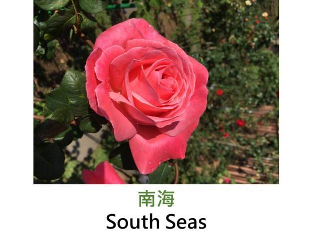 現代雜交茶香玫瑰,育出:1962美國,粉橘混色,重瓣球狀平開花形,濃香