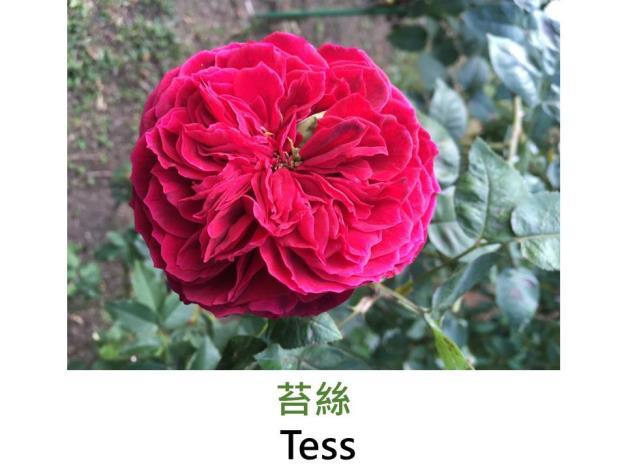 育出:2007前,英國,深紅色,四分簇生花形,中香