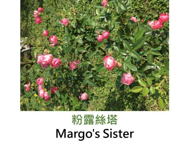 現代多花矮叢玫瑰,育出:1946荷蘭,白色,圓瓣彩球形,微香