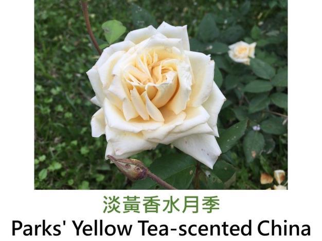 育出:1824前.中國.淡黃色.半重瓣至重瓣.杯狀球型.淡香
