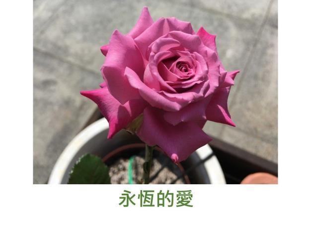 育出:台灣.紫色.外瓣帶紅邊.濃香